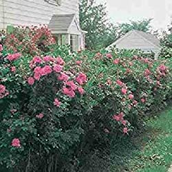 vegherb Rosa Rugosa Semi Rosa Bush fioritura Rosa Hedge vitamina Rosa Canina 10 Semi