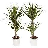 Dracaena Marginata | Plante dépolluante | 2 plantes | plante d'intérieur| hauteur...