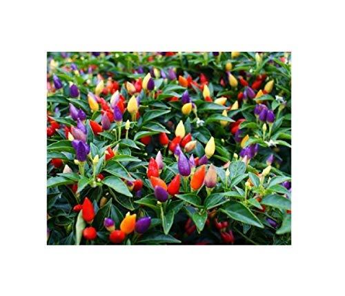 5x Chili Pepper Bolivian Rainbow verschiedene Farben sehr scharf B1970