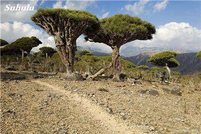Dracaena arbre Graines, Arbre de sang (Dracaena draco), Graines rares Showy géant Fleur de cerisier Bonsai pot plantes de jardin 10 pièces 4