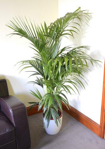 Zimmerpflanze für Wohnraum oder Büro – Howea Forsteriana – Kentia-Palme – Paradies-Palme. Höhe 1,50m