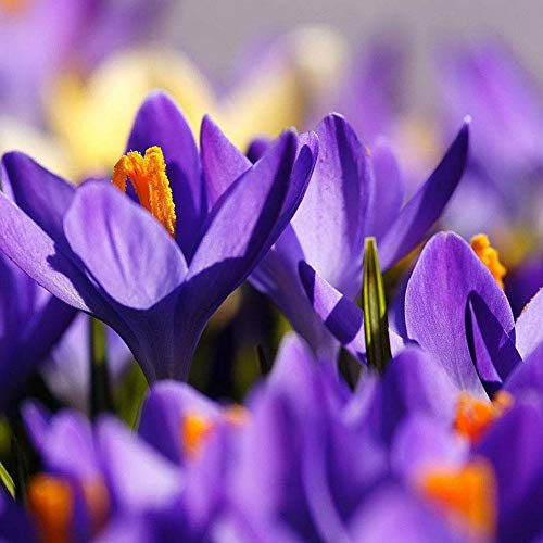 Zoom IMG-2 xdised9xsmao 100pz zafferano crocus sativus