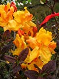bronzegelb blühende Garten Azalee Rhododendron luteum Klondyke 30 - 40 cm hoch im 5 Liter Pflanzcontainer