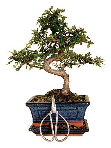 Anfängerset Bonsai-Set Ulme - 3 teilig - ca. 30 cm hocher Ulmen Bonsai, 1 Schere (110mm) und 1 Untersetzer