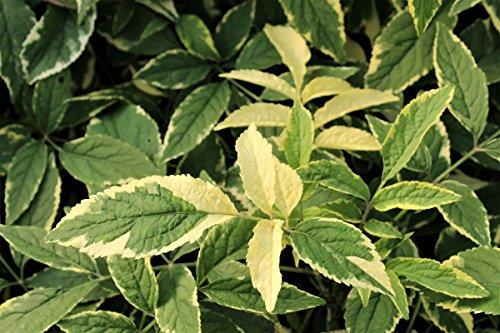 Holunder Instant Karma® - kräftige Pflanze im 5L-Topf