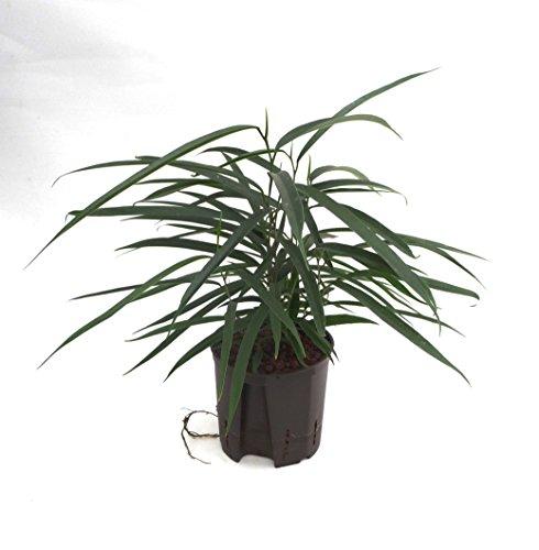 Birkenfeige, Ficus binnendijkii Alii, Zimmerpflanze in Hydrokultur, 13/12er Kulturtopf, 30 - 40 cm