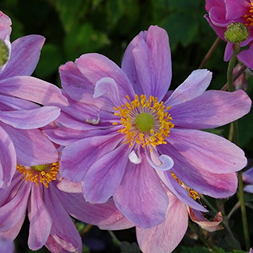 lichtnelke - Herbst-Anemone (Anemone hupehensis) Pretty Lady Emily - Schnitt Emily