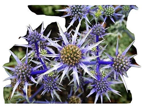 Eryngium Bluepurple, Edeldistel, 10 Samen