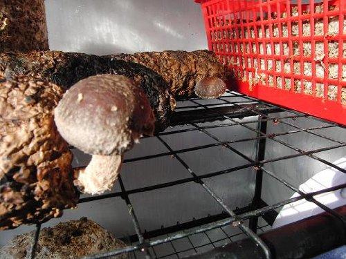 Los hongos Shiitake son muy populares en el mercado y han ganado popularidad en Europa y el Reino Unido sobre la última década. Debido a que no es apto para producción en masa, sigue siendo uno de los hongos más caros, aunque es fácil de cultivar en ...