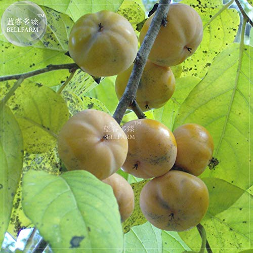 Go Garden Bellfarm Bonsai Diospyros plaqueminier vivace kaki Fruit organique Haut Germination de/pack