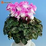 Rare Verdi Semi bianco ciclamino in vaso di fiori balcone Coniglio pianta del fiore di semi di 100 particelle / lot