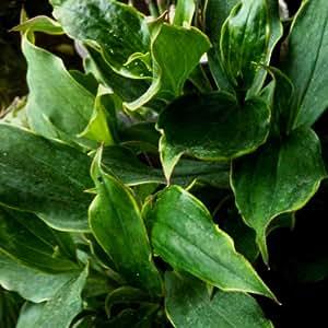 Panaschierte Krötenlilie (Tricyrtis formosana 'Gilt Edge')