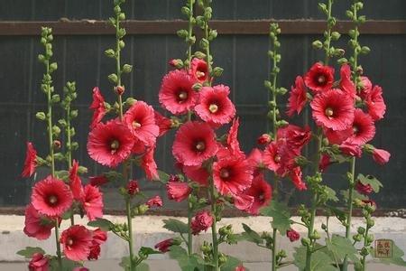 Pinkdose® Pinkdose Blumensamen: Stockrose Samen Althaea Rosa Radix Garten Samen Winter Blumensamen für Grenze (18 Pakete) Garten Pflanzensamen von