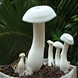 #4: Pepper Agro Mushroom Spawn/Seeds Milky White Calocybe Indica 300gm Set of 2