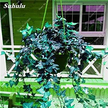 VISTARIC 1: 100 Pcs vrai Cactus Seeds, Mini Cactus, Figuier, Succulentes japonais Graines Bonsai Fleur, Plante en pot pour jardin 1