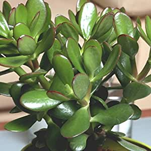 Crassula portulacea Gollum Jade - 4 plants