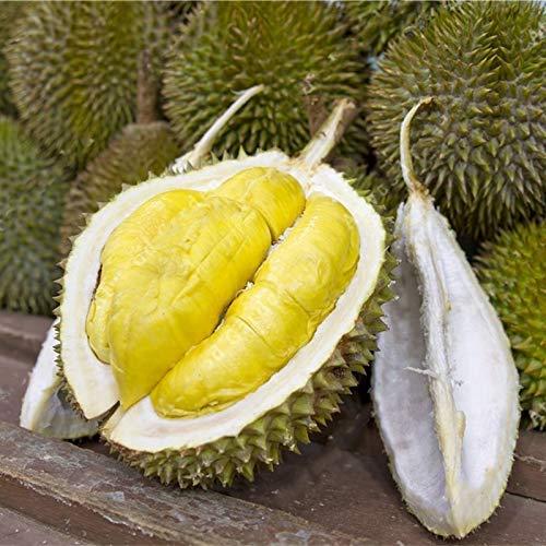 AiCheaX 5 Teile/Beutel Durian Baum Samen Köstliche König von Obst Samen High-Nutrition Riesen Outdoor Seltene Pflanzen Lustige Bonsai Samen für Hausgarten