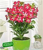 BALDUR-Garten Wüsten-Rose 'Rot', 1 Pflanze Adenium Zimmerpflanze blühend