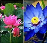 #4: Bee Garden Organic Lotus Flower Seeds 10Pcs - Pink & Blue Colors