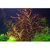 1 Manojo Ludwigia arcuata - Plantas de acuario