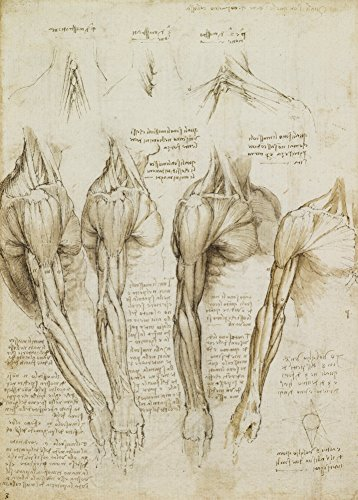 Vintage Anatomie LEONARDO da VINCI Muskeln der Schulter, Arm und Hals, Italien, 14-15 Jahrhundert. 250 g/m², glänzend, Kunstdruck, A3, Reproduktion (Zahlen Diagramm Medizinische)