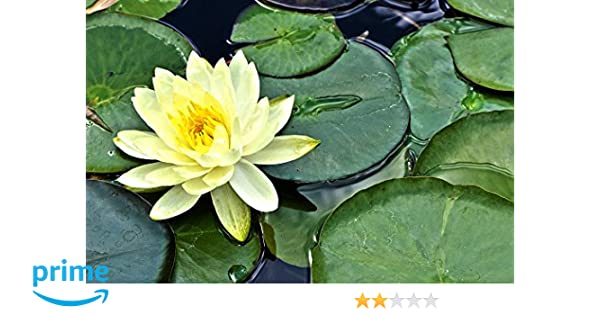 Bee Garden Yellow Lotus Flower Seeds Pack Of 10 Growing Lotus