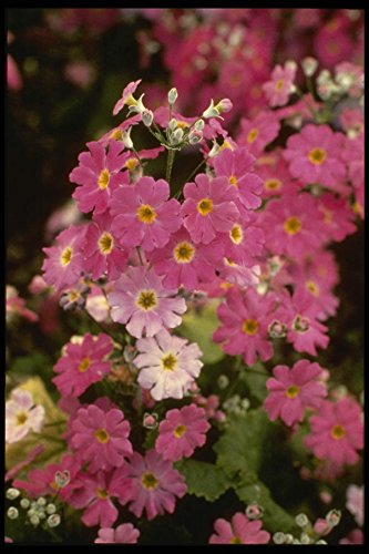 124087 Primula Malacoides 'Pink Ice' (Fairy Primrose) A4 Photo Poster Print 10x8