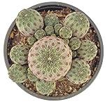Sulcorebutia rauschii f. violacidermis Kaktus Rebutia Sulco Kakteen - rare Sukkulente