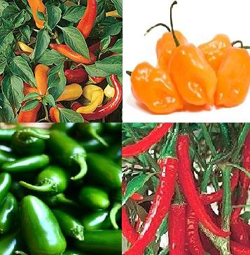 semillas de chile jalapeño, húngaro, Habanero, Anillo O FUEGO