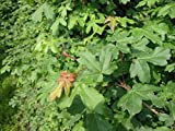1 Stück Acer campestre * (Feldahorn), Feldahorn Hecke, Heckenpflanzen, * Topf 3 Liter 60-100 cm