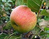 Apfelbaum Rondo LH 80 - 100 cm, Äpfel grün-gelb, Säulenobst, mittelstark wachsend, im Topf, Obstbaum winterhart, Malus domestica