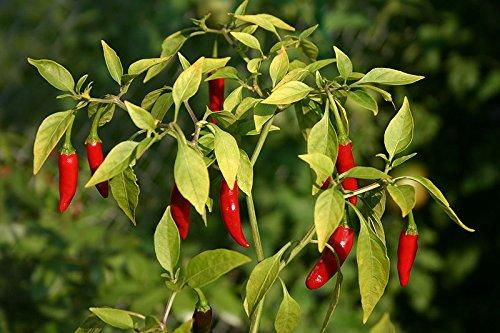 hot-chilli-pepper-bird-eye-demon-20-seeds