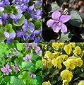 lichtnelke - Stauden-Paket mit 10 Pflanzen Veilchen (Viola) von Lichtnelke Pflanzenversand bei Du und dein Garten