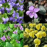 lichtnelke - Stauden-Paket mit 10 Pflanzen Veilchen (Viola)