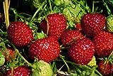 Erdbeere Senga Sengana®, im Torftopf 40 Pflanzen