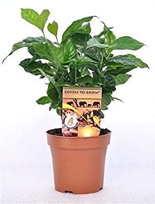 """Coffee Arabica Grow Your Own Coffee"" Plant in 12 cm Pot by PERFECT PLANTS"