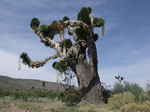 1 Yucca carnerosana PUGNE GIGANTE SPAGNOLO schön saftig by Farmerly