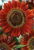 Just Seed - Blume - Sonnenblume - Rote Sonne - 100 Samen