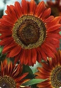 JustSeed - Blume - Sonnenblume - Rote Sonne - 100 Samen