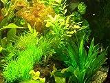 ca.50 Wasserpflanzen Vordergrund + Dünger + Aufbereiter, Aquariumpflanzen