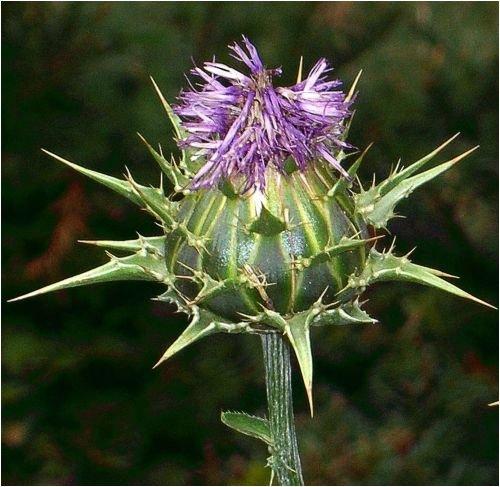 Seedeo Mariendistel (Silybum marianum) 80 Samen