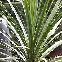 Portal Cool Cordyline Australis 'Atlantic Green' palmito herbácea Jardãn   9 cm Pot