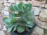 Flapjack plant: Kalanchoe tetraphylla