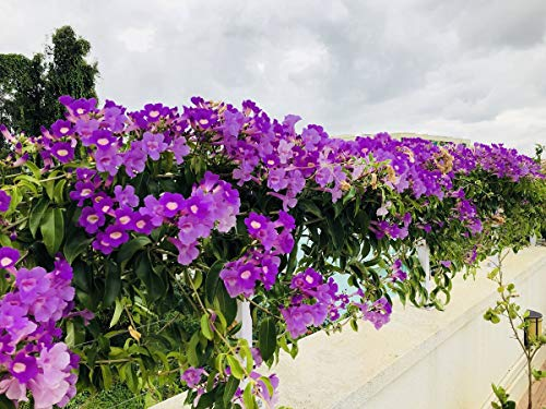 Exoticflora Creepers And Climbers Garlic Creeper & Climber Healthy Live Plant With 6 Inches Fiber Pot (Real Flowering Creeper And Climber For Garden And Home)