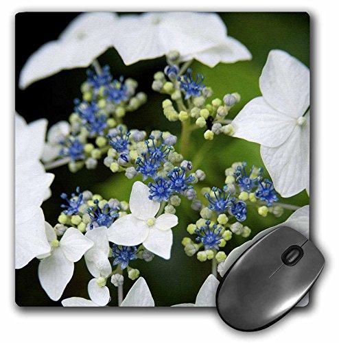 Danita Delimont - Flowers - Massachusetts, Cape Cod Lace cap Hydrangea flower - US22 JEN0066 - Jim Engelbrecht - MousePad (mp_90838_1)