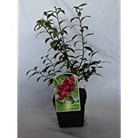 Arandano rojo (maceta 2 litros) - Arbusto frutal vivo