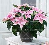 Shopmeeko 100 Stück Bonsai Weihnachtsstern Pflanze, Euphorbia Pulcherrima, seltene Blütenpflanzen Pflanze, Balkon Topfpflanzen: 5