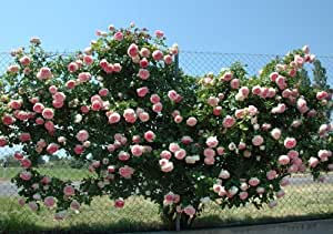 Rosier Grimpant Pierre De Ronsard ® Meiviolin Sans Motte - Blanc/Rose