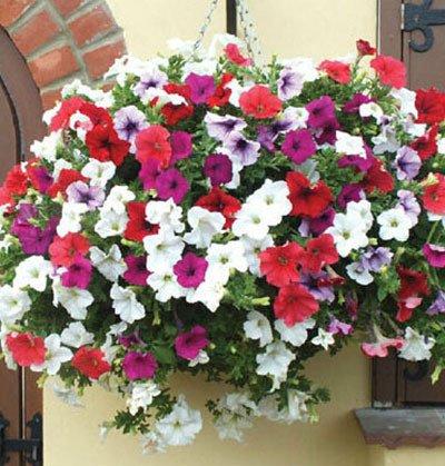 Galleria fotografica Vendita calda di 20 diversi Hanging semi della petunia Blended colori Semi di fiore pianta da giardino Petunia 100 pezzi