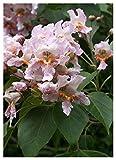 TROPICA - Albero dei sigari/viola-rosa (Catalpa fargesii) - 50 Semi- Mediterraneo
